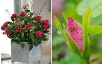 Afidi sulle rose: come gestire e come sbarazzarsi