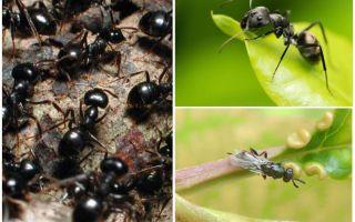 Tipi di formiche in Russia e nel mondo