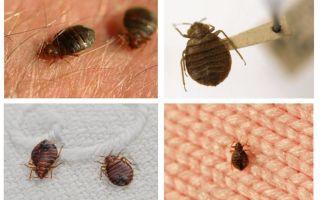 Se gli insetti vivono in cuscini e coperte