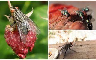 Descrizione e foto home mosche