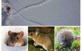 Tracce di topi nella neve