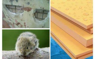 I topi mangiano schiuma di polistirene estruso