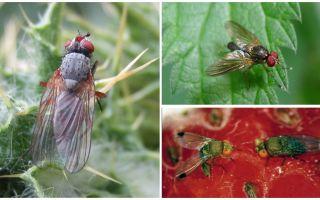 Come affrontare una mosca cremisi