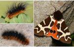 Descrizione e foto caterpillar dipper Kaya