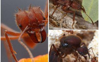 Tagliatori di foglie di formiche