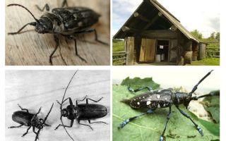 Foto e descrizione del boscaiolo dello scarabeo