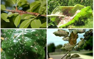 Come sbarazzarsi degli afidi negli alberi