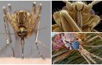 Zanzara in una vista più ampia