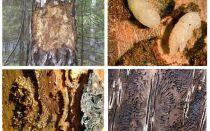 Come affrontare lo scarabeo di corteccia in una casa di legno