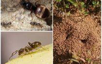Garden black ants