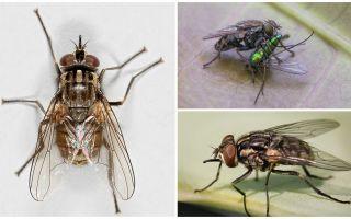 Descrizione e foto della mosca vola zhigalki