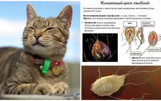 Sintomi e trattamento di Giardia nei gatti