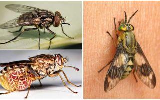 Varietà di mosche con foto e descrizioni