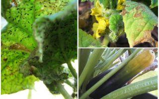 Come sbarazzarsi di afidi su zucchine