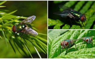Descrizione e foto della mosca carrion verde