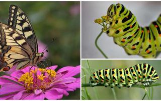 Descrizione e foto del bruco della farfalla di Machaon