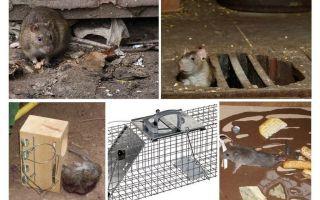 Come rimuovere i ratti dai rimedi popolari della cantina