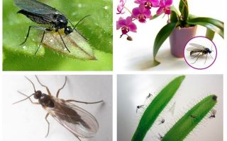 Come sbarazzarsi delle zanzare fungine (sciarid)