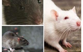Visione dei ratti