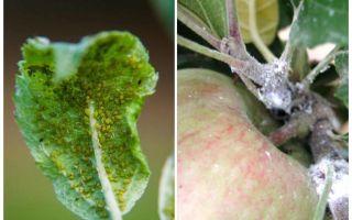 Come sbarazzarsi di afidi su meli