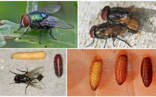 Come appaiono le mosche