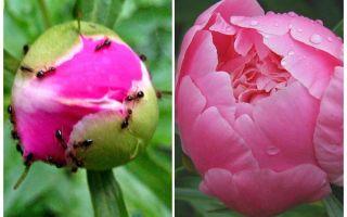 Come elaborare peonie da formiche, rimedi popolari