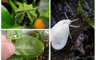 Come sbarazzarsi della mosca bianca sui fiori al coperto