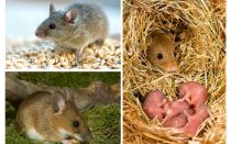 La durata della vita dei topi