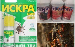 Come trattare con formiche e afidi su meli