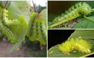 Descrizione e foto di pericolosi bruchi velenosi