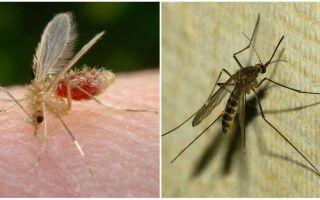 Qual è la differenza tra zanzare e zanzare?