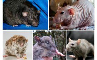 Specie di ratto