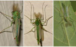 Zanzare verdi della campana (zanzare di Dergun)