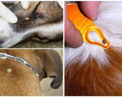 Mordere il morso in un cane - sintomi, effetti e cure a casa