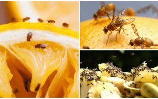 Come sbarazzarsi di moscerini della frutta nel negozio di cucina e rimedi popolari