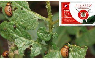 Come allevare gli apaches dallo scarafaggio della patata del Colorado