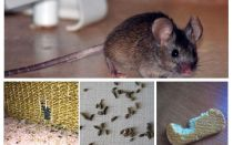 Come comportarsi con i topi nell'appartamento