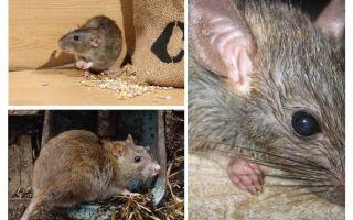 I ratti possono attaccare gli umani