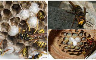 Come rimuovere il nido del calabrone