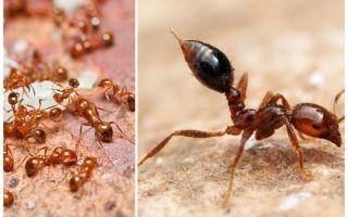 Come sbarazzarsi di piccole formiche rosse in un appartamento