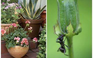 Come rimuovere le formiche da un vaso di fiori