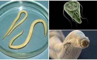Confronto tra Giardia e Worms