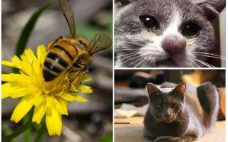 Cosa fare se un gatto viene morso da un'ape