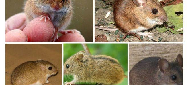 Tipi e tipi di topi