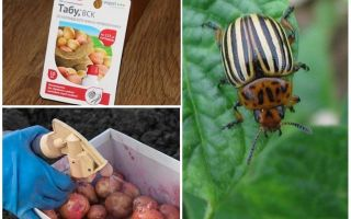 Quando e cosa spruzzare e trattare le patate dallo scarabeo della patata del Colorado