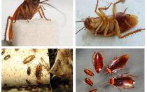 Come appaiono gli scarafaggi, le loro foto, i tipi e la descrizione