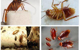 Red cockroach prusak e come liberarsene