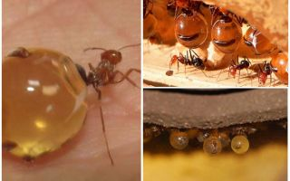 Formiche di miele