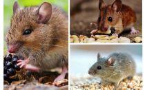 Che topi mangiano