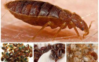 Gli scarafaggi mangiano insetti